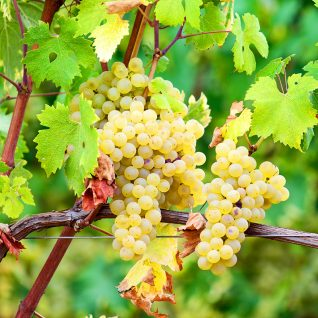 Il vitigno Arneis