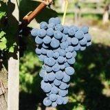Il vitigno Barbera