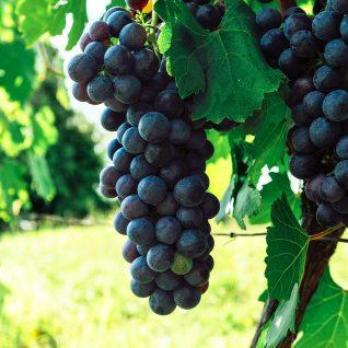 Il vitigno Bonarda