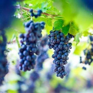 Il vitigno Brachetto
