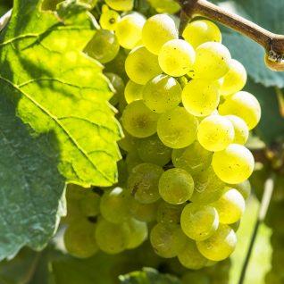 Il vitigno Chardonnay
