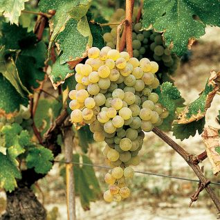 Il vitigno Cortese
