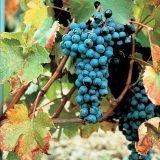 Il vitigno Dolcetto