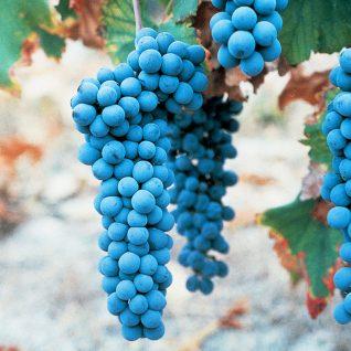 Il vitigno Freisa
