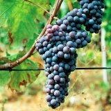 Grignolino, il vitigno