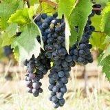 Malvasia di Schierano, il vitigno