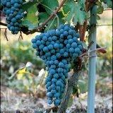 Il vitigno Nebbiolo