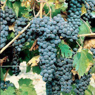 Il vitigno Ruchè