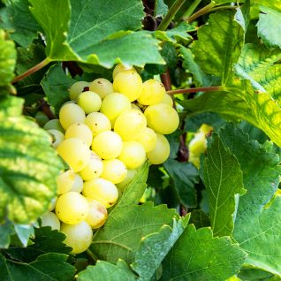 Il vitigno Moscato
