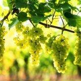 Il vitigno Pinot Bianco