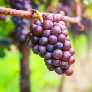 Il vitigno Pinot Grigio