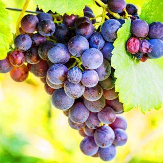 Il vitigno Pinot Nero
